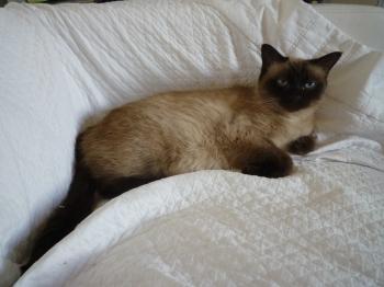 Très bien Chat angora siamois chat croisé siamois européen | Villaviedebie &VS_81