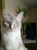 animaux chats HAUTES PYRENEES 65220 PUYDARRIEUX